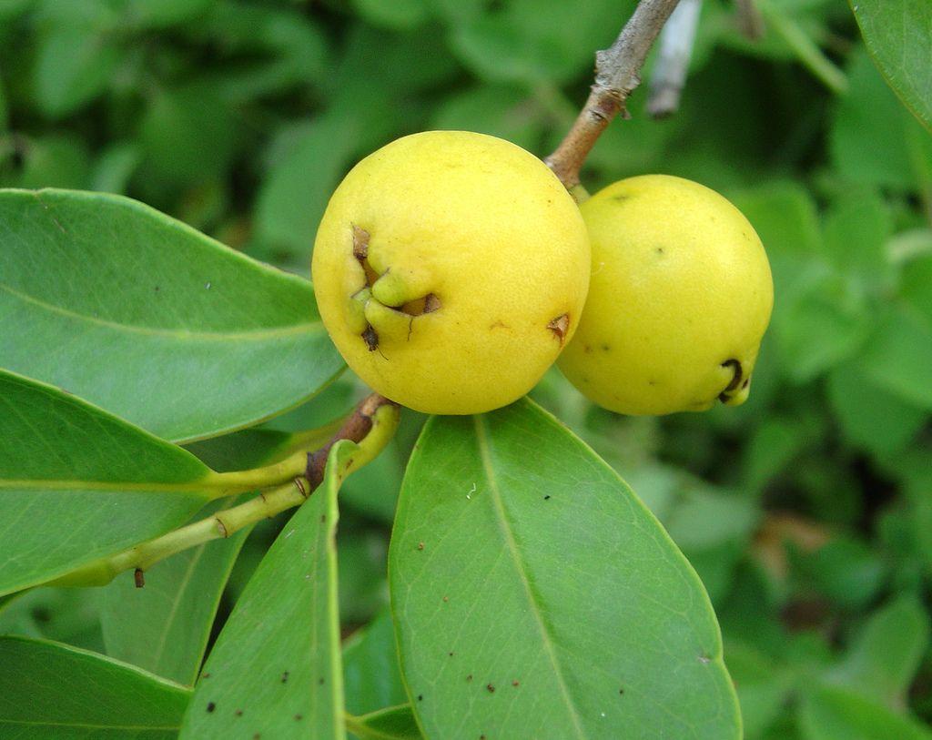 Caribbean Guava Fruits On Trees Pinterest Caribbean