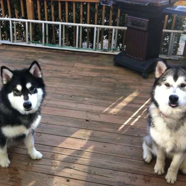 Alaskan Malamutes Fabulous Mask On The Dog On The Left