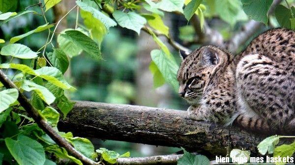 chat de Geoffroy parc des félins