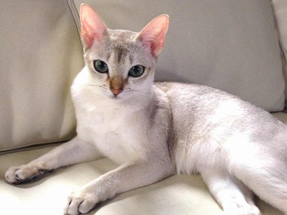 サプライズ プレゼントに 大きなリボンをつけて犬や猫を贈る動画がある だが 現実には 贈られた側が必ずしも喜ぶとは限らない ペットショップでクリスマス プレゼントとして買ったシンガプーラの子猫 それが原因で夫婦喧嘩に シンガプーラ 子猫 美しい猫