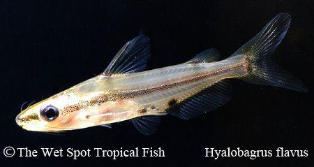Hyalobagrus Flavus Malayan Yellow Pygmy Cat Aquarium Catfish Freshwater Fish Fish Pet