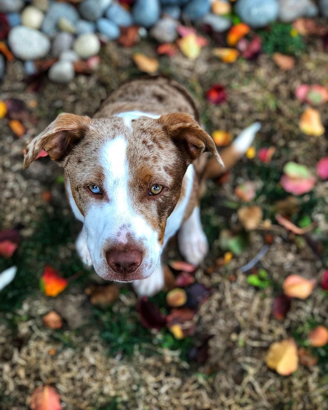 Texas Heeler (With images) Hybrid dogs, Shepherd mix dog