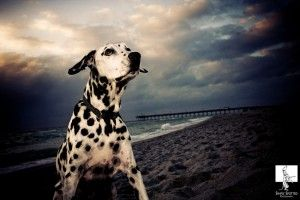 Kimbutler Simplyspotted Dalmation Dogs Pet Portraits