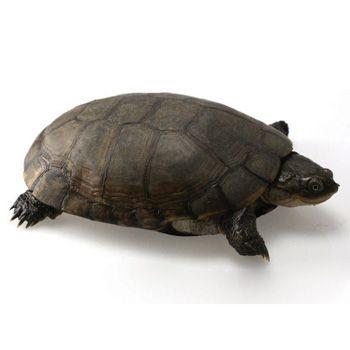 African Side Neck Turtle Turtle Reptiles Pet Aquatic Turtles