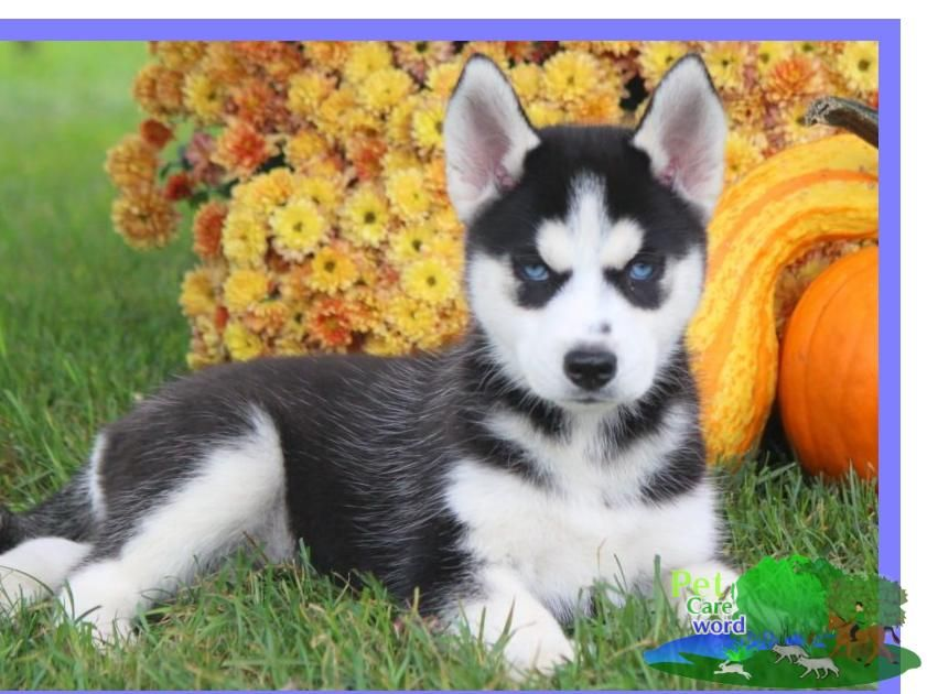 Background On The Siberian Husky Dog The Siberian Husky Is A