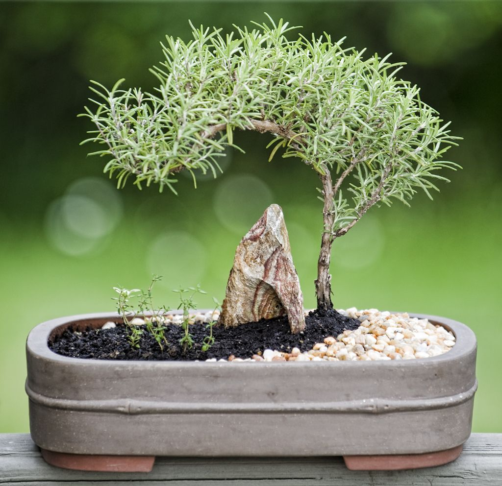 Bonsai rosemary and thyme bonsai pinterest pflanzen for Bonsai pflanzen