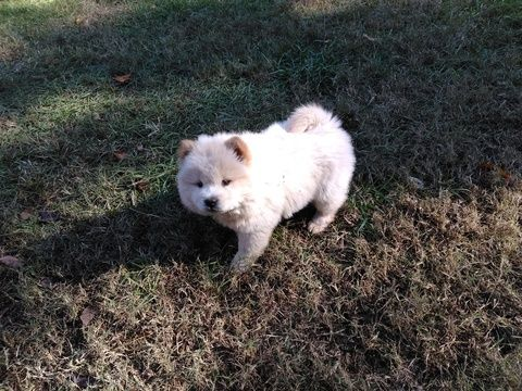Chow Chow Puppy For Sale In Macon Ga Adn 53349 On Puppyfinder