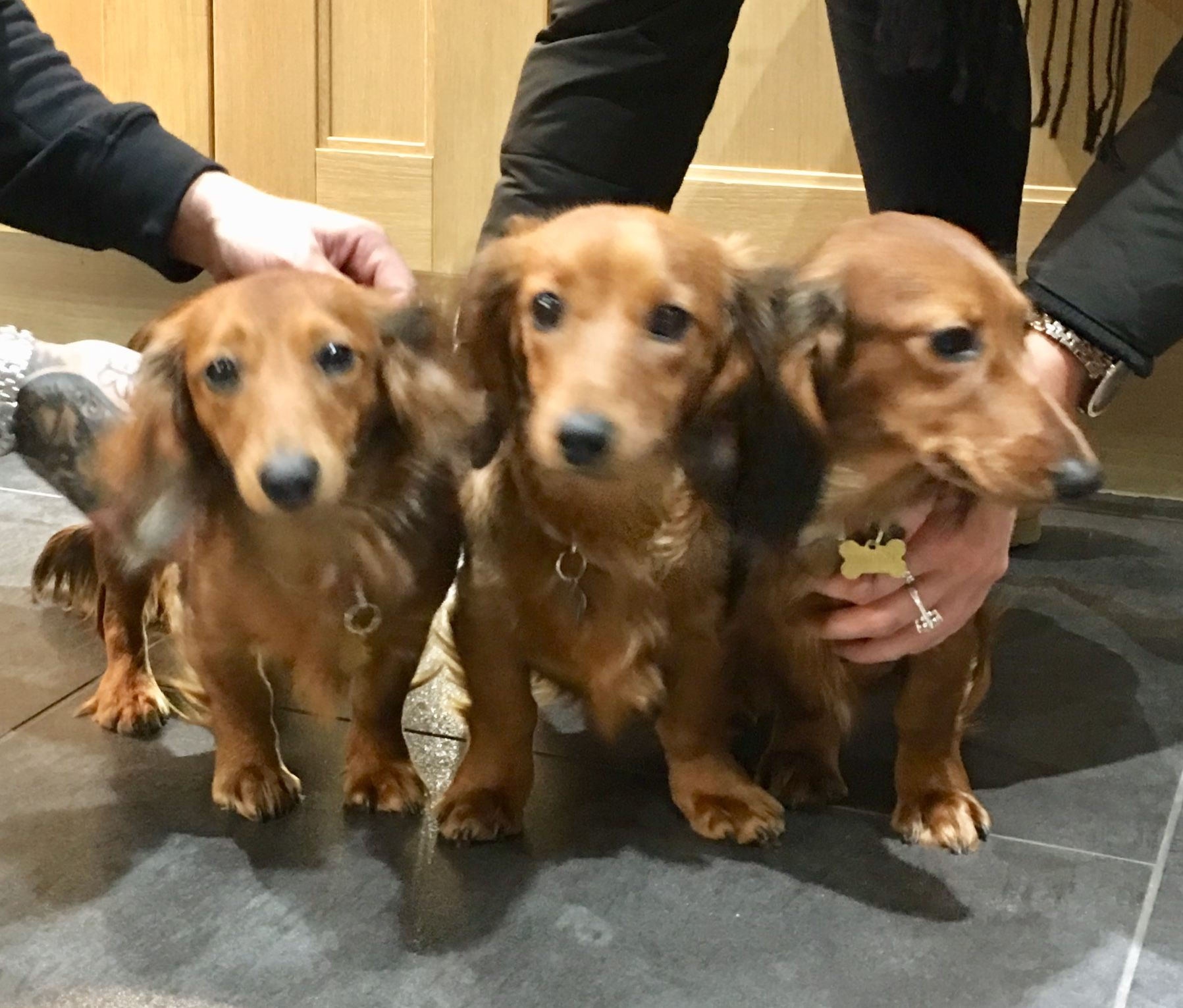 Red Miniature Long Haired Dachshunds Dachshund Wiener Dog Long