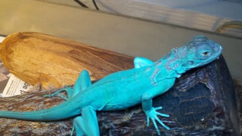 Baby Blue Iguana