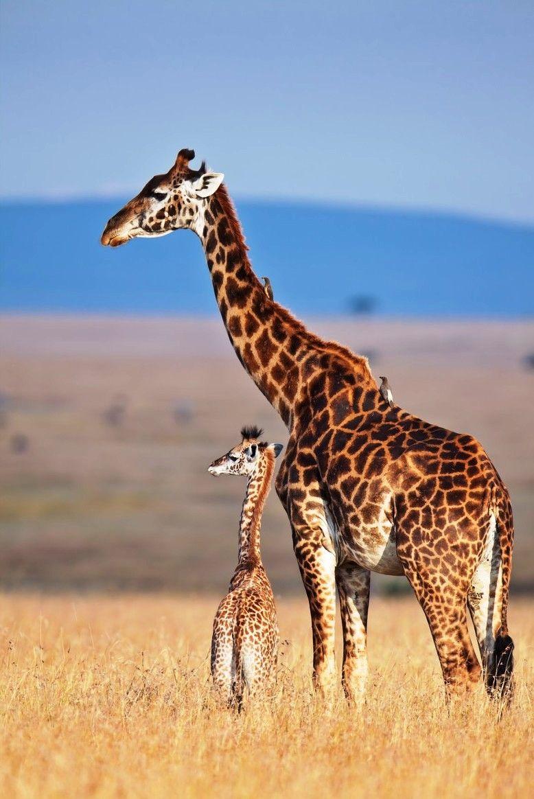 Giraffe my all time favorite animal!!! Such beautiful