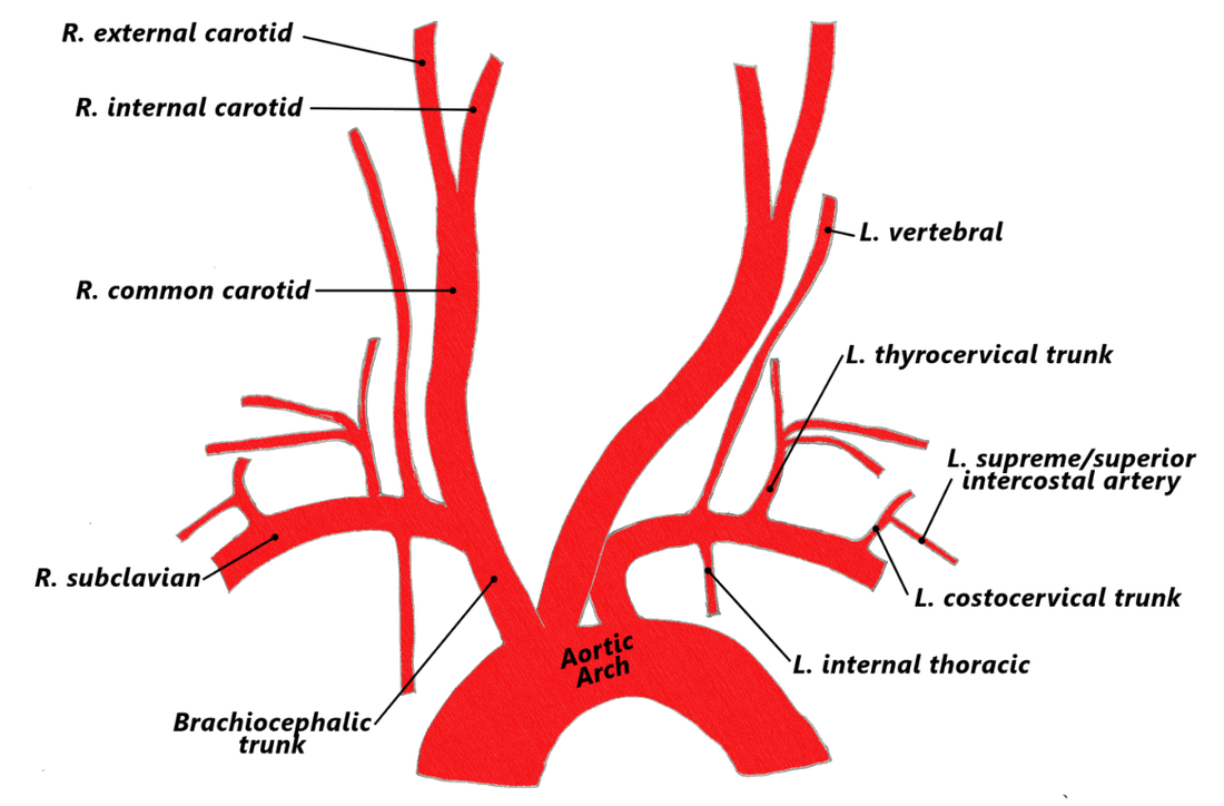 ARTERIES TRAVELLING SUPERIORLY AND LATERALLY The diagram shows the ...