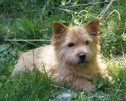 Wildgoose Norwich Terriers Norwich Terrier Terrier Australian