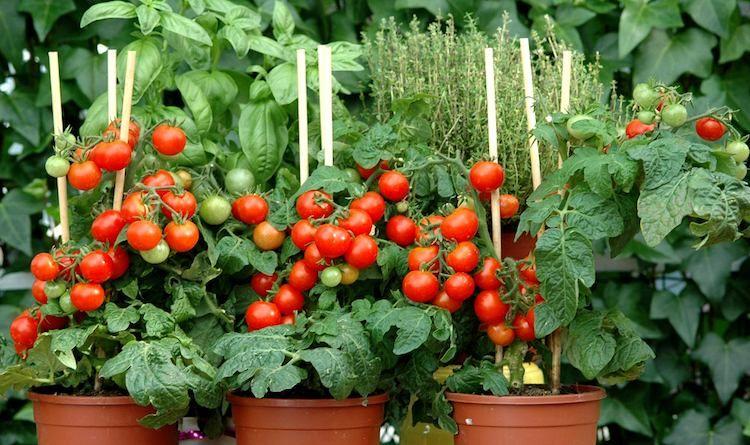 Tuteurs à tomates treillis faits maison – types, conseils et ...
