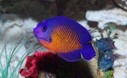 Coral Beauty Dwarf Angelfish