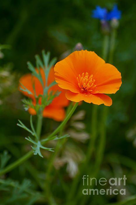 Art Nouveau Inspired California Poppy By Mason Larose: California Poppy By K D Graves