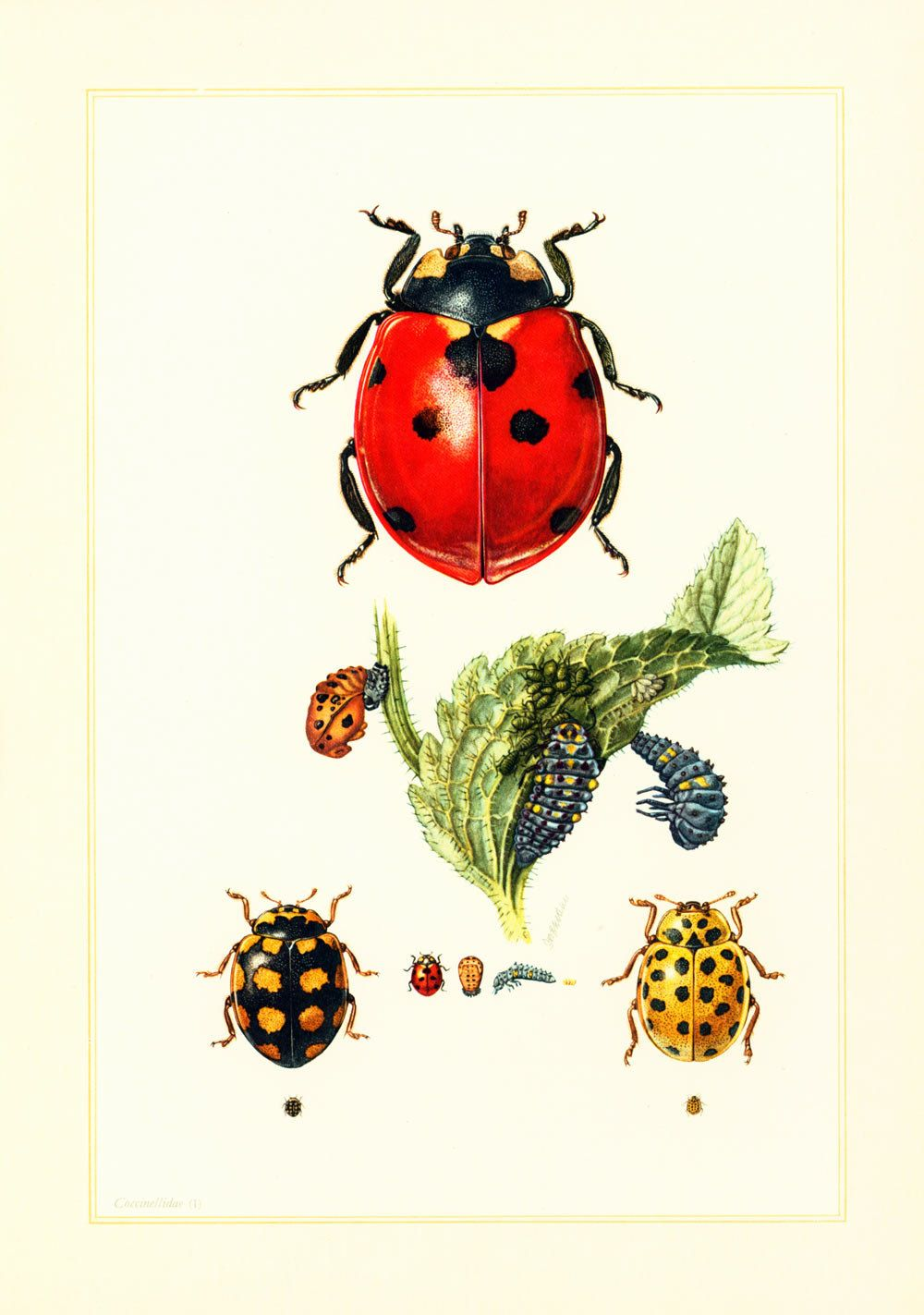 1960 vintage ladybug print illustration ladybird insect entomology natural history science. Black Bedroom Furniture Sets. Home Design Ideas