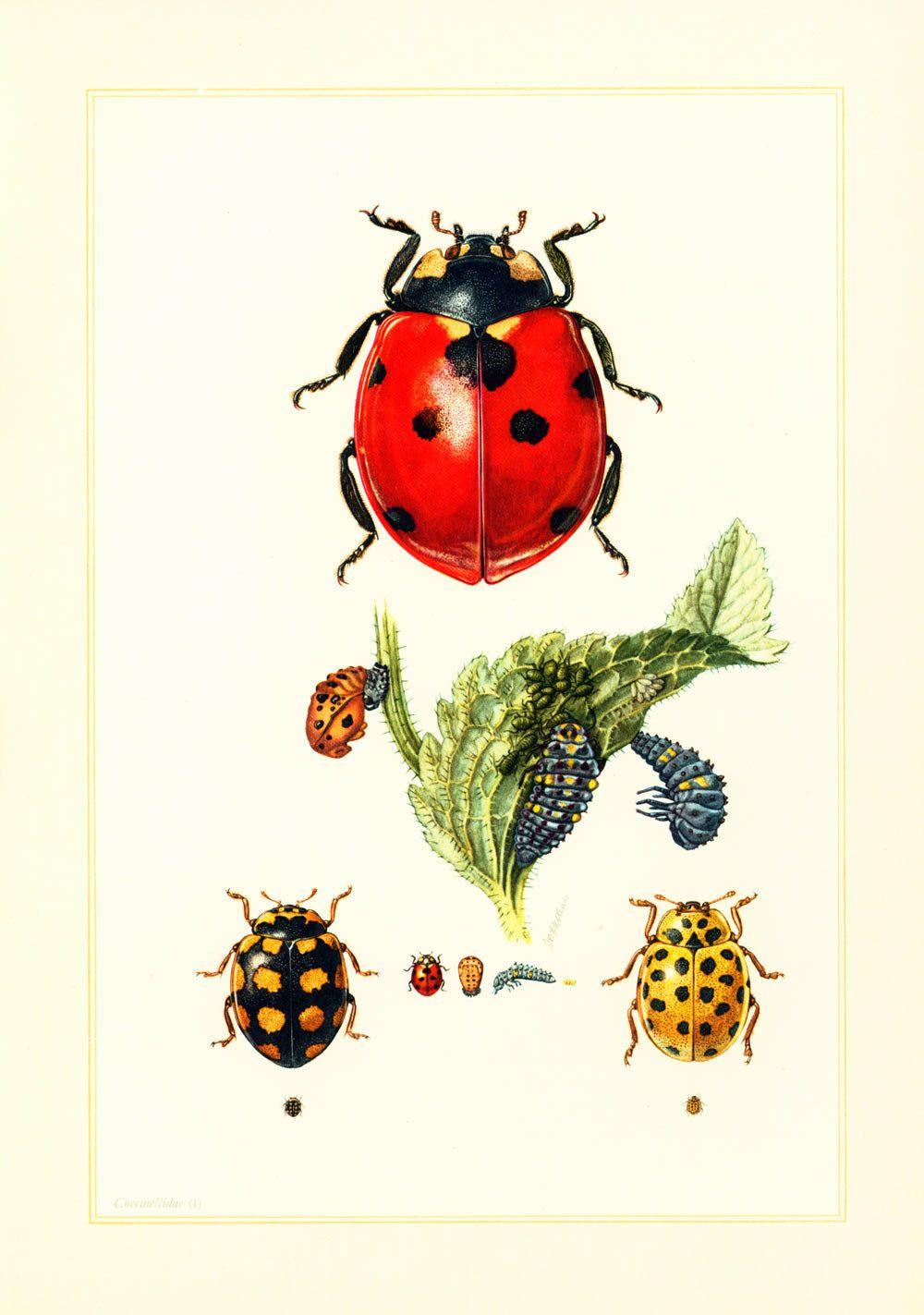 akribische Färbeprozesse 2019 heißer verkauf offizielle Seite 1960 Vintage Ladybug Print. Illustration Ladybird. Insect ...