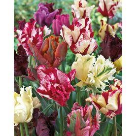 Parrot Blend Tulips