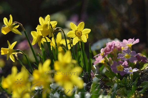 *Garten-Liebe*: die ersten Osterglocken leuchten...