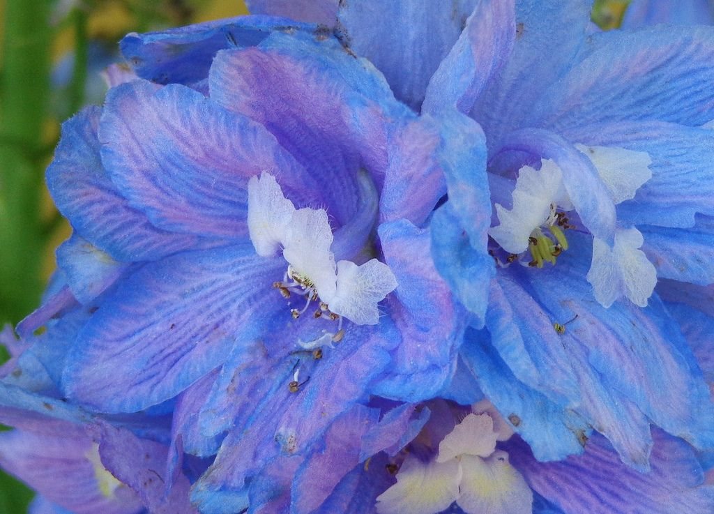 https://flic.kr/p/ejEhfC | Blue Delphinium | I shot this set at Hamilton Gardens in Hiawassee, Georgia, a true hidden gem. The gardens are gorgeous and it only costs $3 to get in. I'll definitely go back!