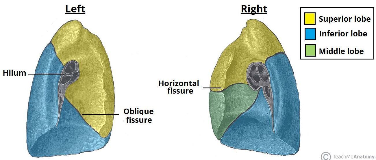 Left lung and right lung hilum anatomy - www.anatomynote.com ...