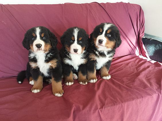 Bernese Mountain Dog Puppies Pet Dog Puppies For Sale In Canajoharie Ny A00069 Want Ad Digest Clas Bernese Mountain Dog Puppy Pet Dogs Puppies Mountain Dogs