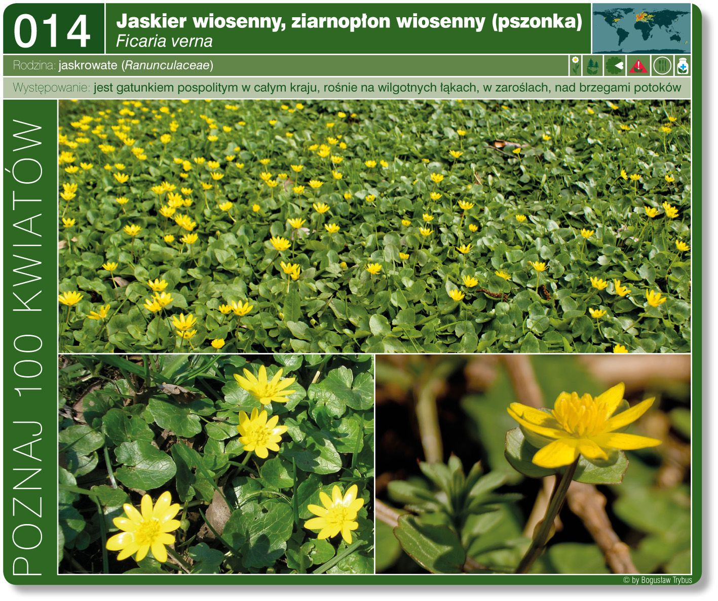Jaskier Wiosenny Plants Herbs
