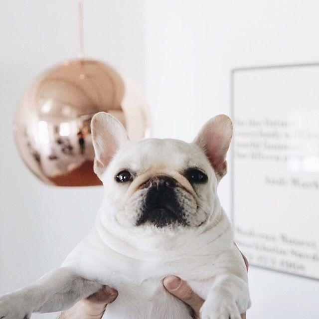 French Bulldog, @piggyandpolly on instagram