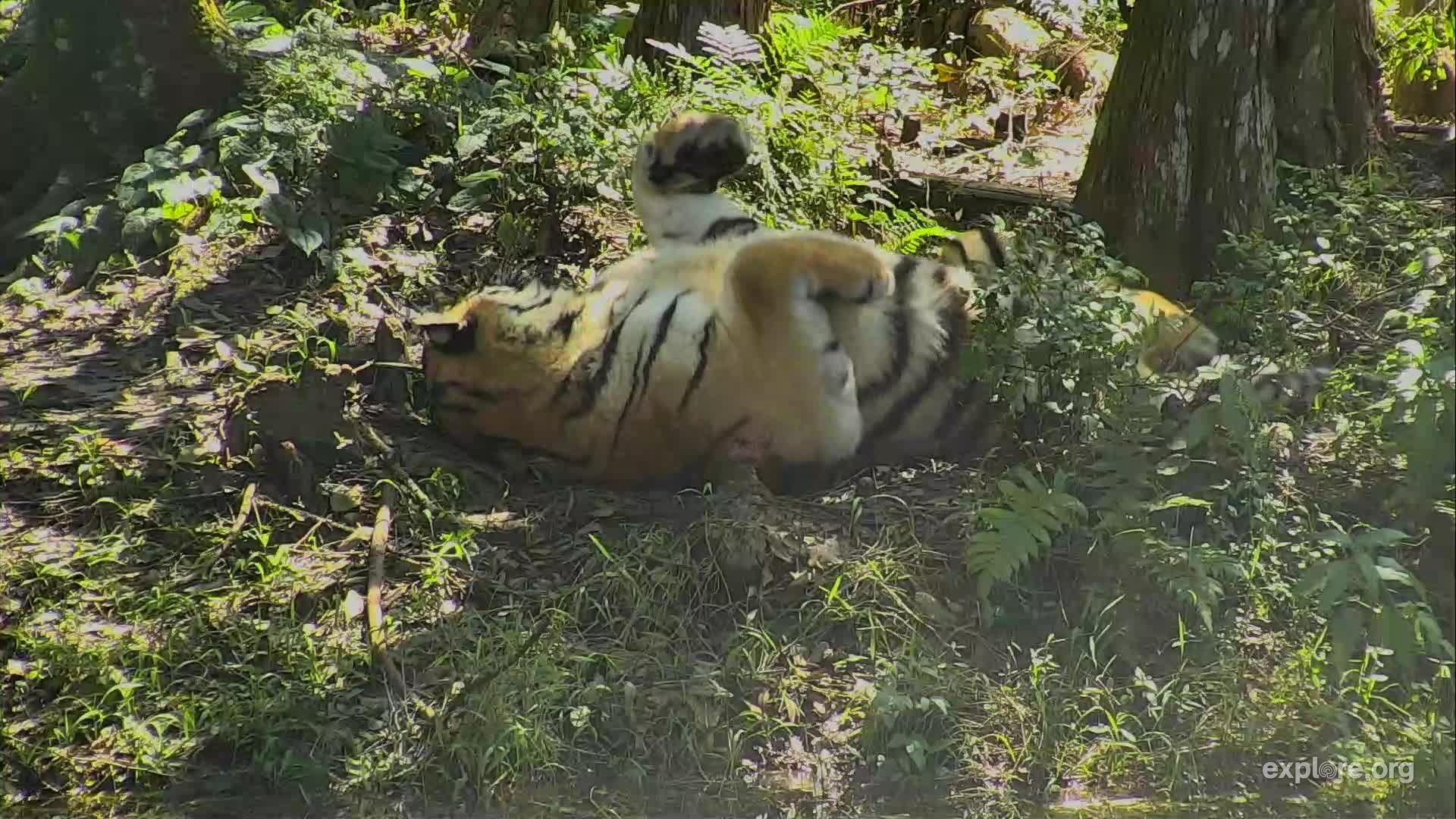 I m watching the Big Cat Rescue Cam streaming live on explore