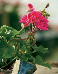 Pelargonium x hortorum. Kotipelargonit eli vyöhykepelargonit ovat yleisin pelargoniryhmä | Tunne pelargonit | Koti ja puutarha