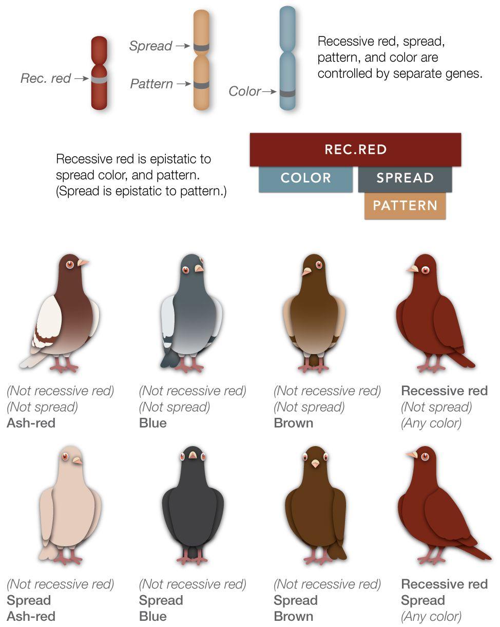 Genes and Epistasis | Pigeon Color Genetics | Pigeon breeds, Pigeon