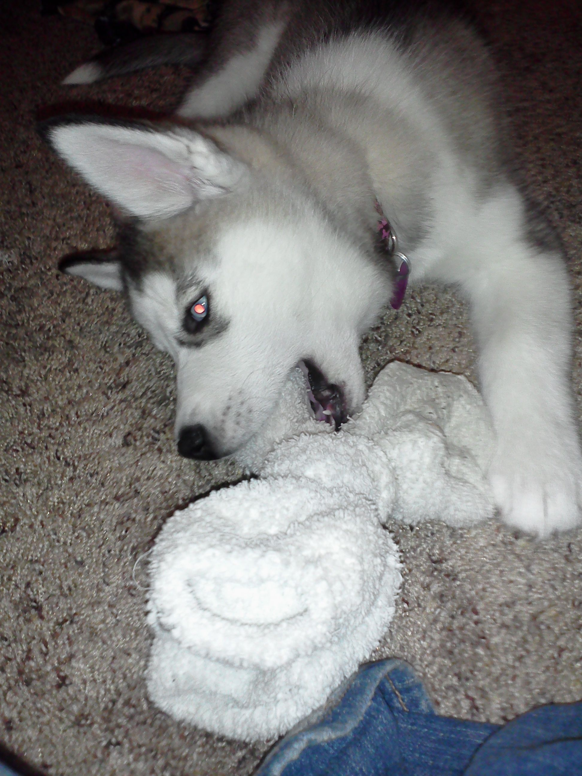 Best Puppy Teething Ever Put Ice Cubes In Used Socks Not Only Are