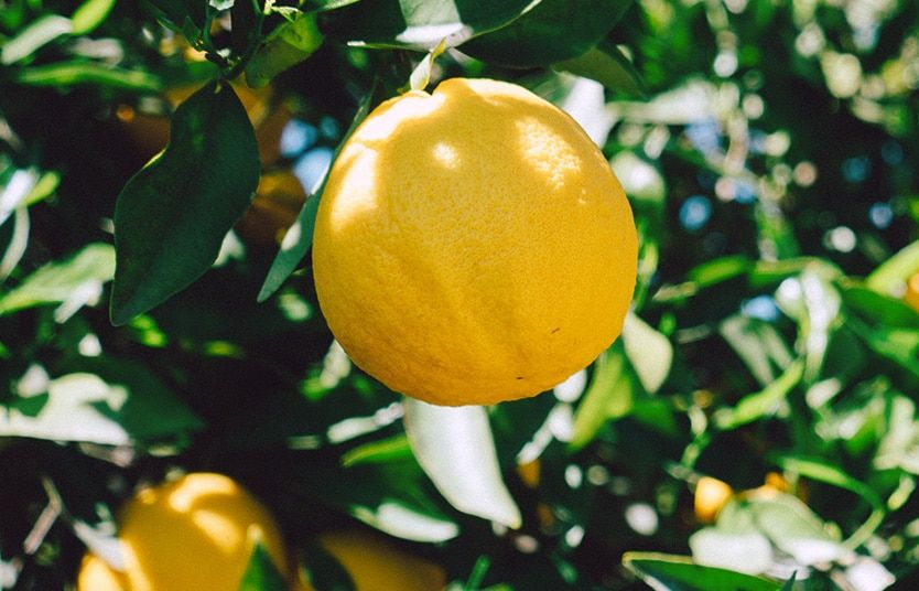 Culture Du Citronnier Faire Germer Des Graines Graines De Citron Citronnier