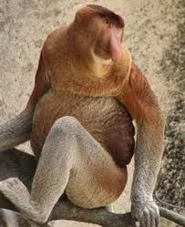 The Proboscis Monkey Gets Its Name From Large And Fleshy Nose Is Endemic On Island Of Borneo In Southeast Asia Monkeys Live
