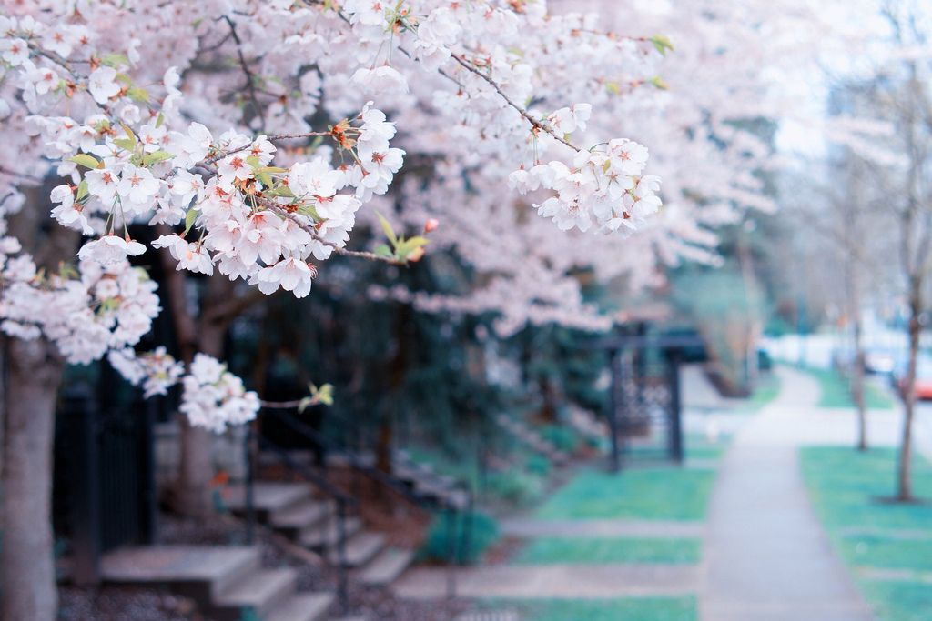 Annual Neighborhood Blossoms By Kennymatic Tree Hd Wallpaper Spring Tree Spring Wallpaper