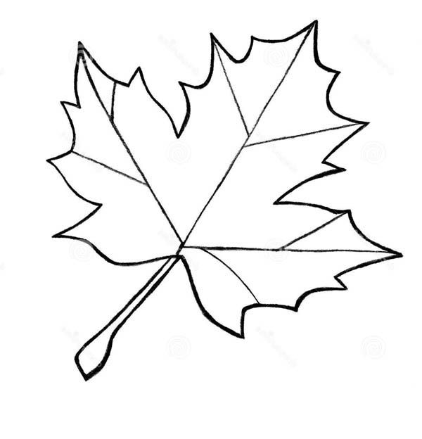 Sugar Maple Leaf Sketch Maple Leaves Coloring Pages To use for
