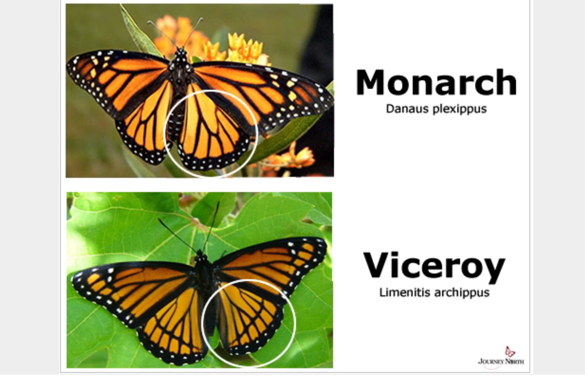 Difference Resemblance Between A Monarch And Viceroy