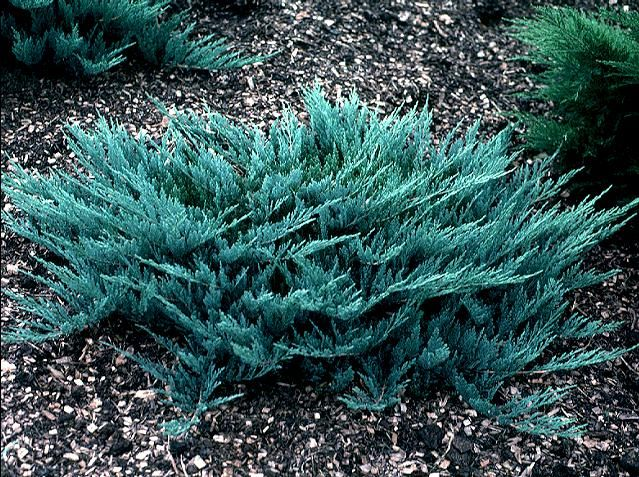 Blue Chip Juniper 1 X 7 Nice Evergreen Groundcover Displaying Silver Blue Foliage On A Widely Spre Landscaping Shrubs Evergreen Shrubs Small Evergreen Shrubs