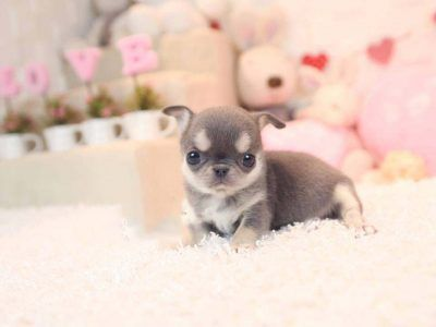 Pin by Kenya B on cute   Teacup chihuahua puppies, Puppies ...