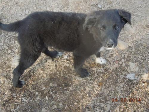 Adopt Broil On Border Collie Mix Puppies Shetland Sheepdog