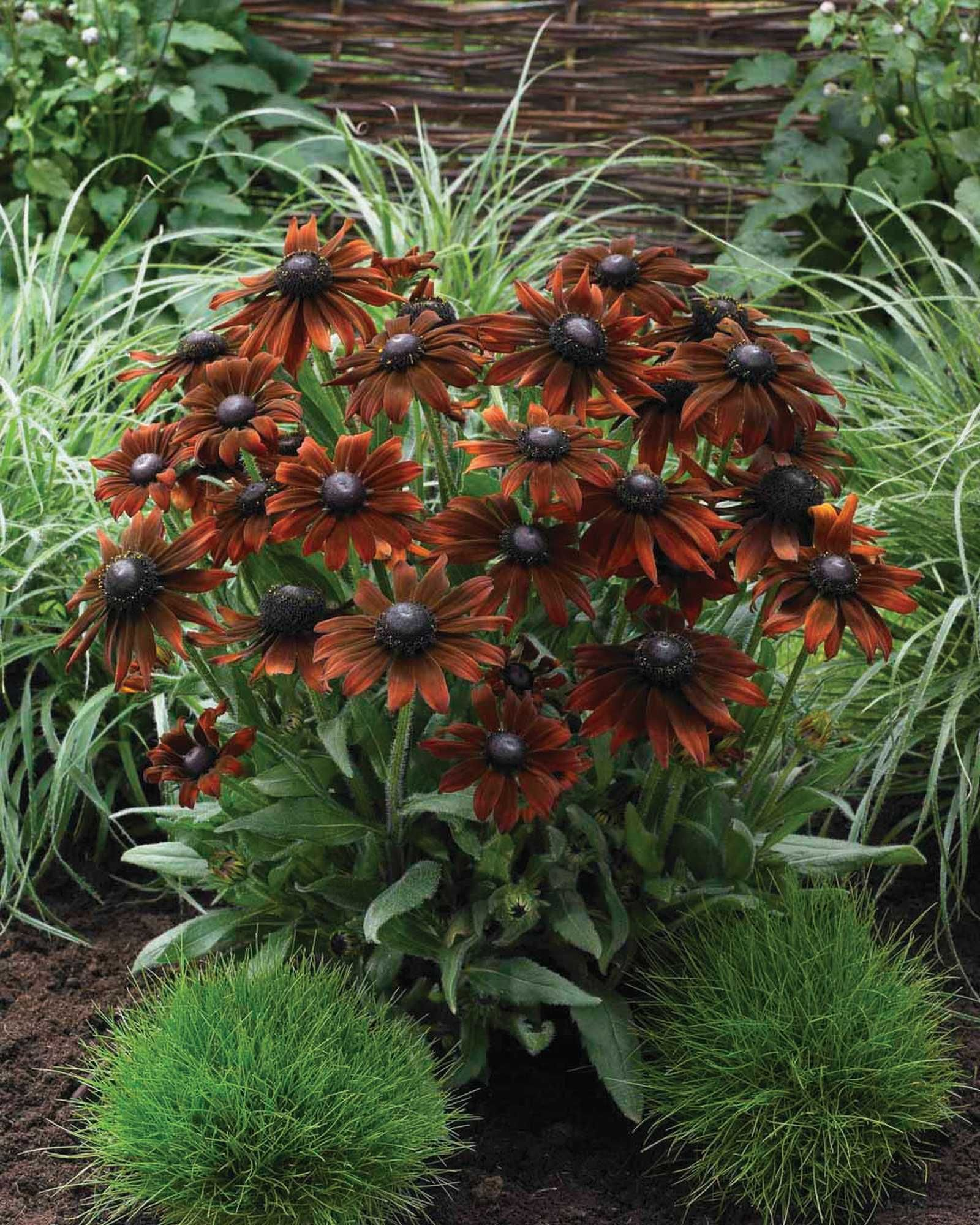 Echibeckia \'Summerina Brown Tuin\' Not sure if this is hardy to Zone ...