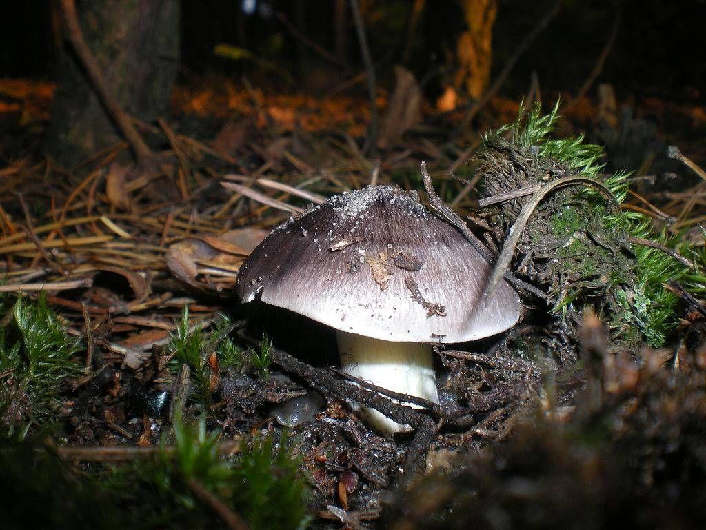 грибы серушки фото и описание как готовить ярко