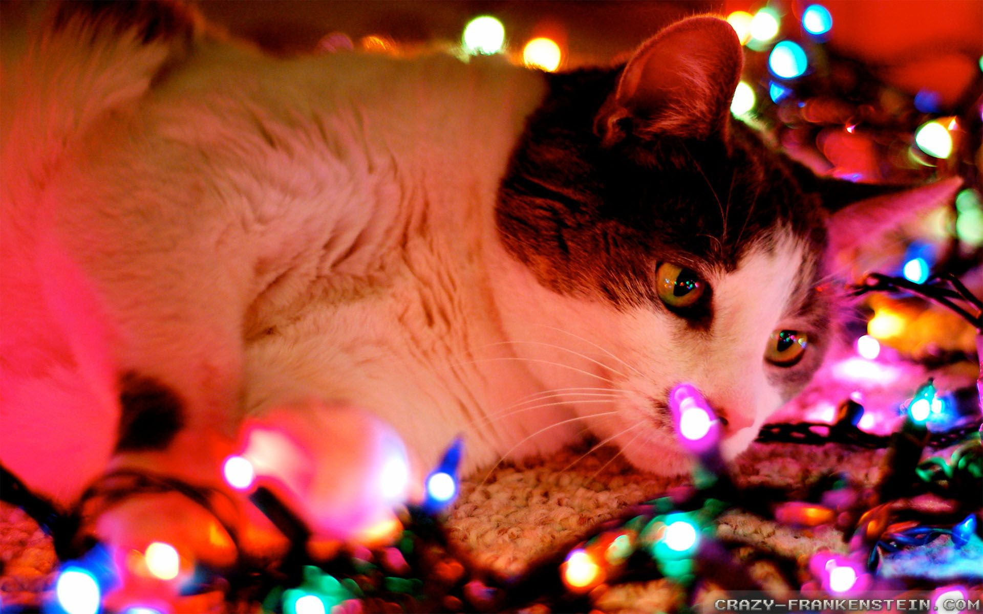 Cat With Christmas Lights Wallpapers Hd Free 294640 Christmas Cats Pet Christmas Pictures Christmas Cat Photos