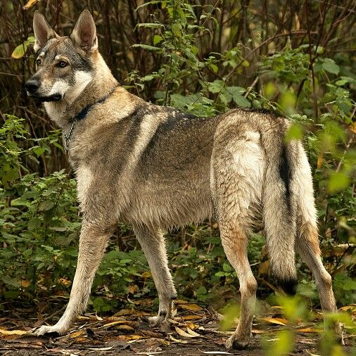 Willow the czechoslovakian wolfdog