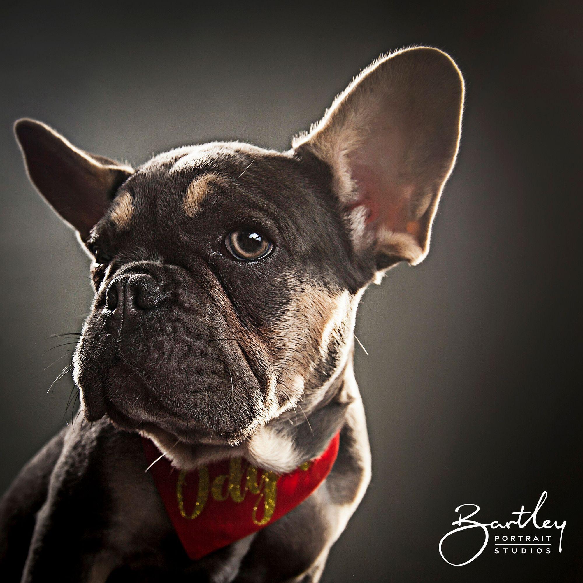 Pet Dog Portrait Photography Dog Portrait Photography Pet Portraits Photography Pets