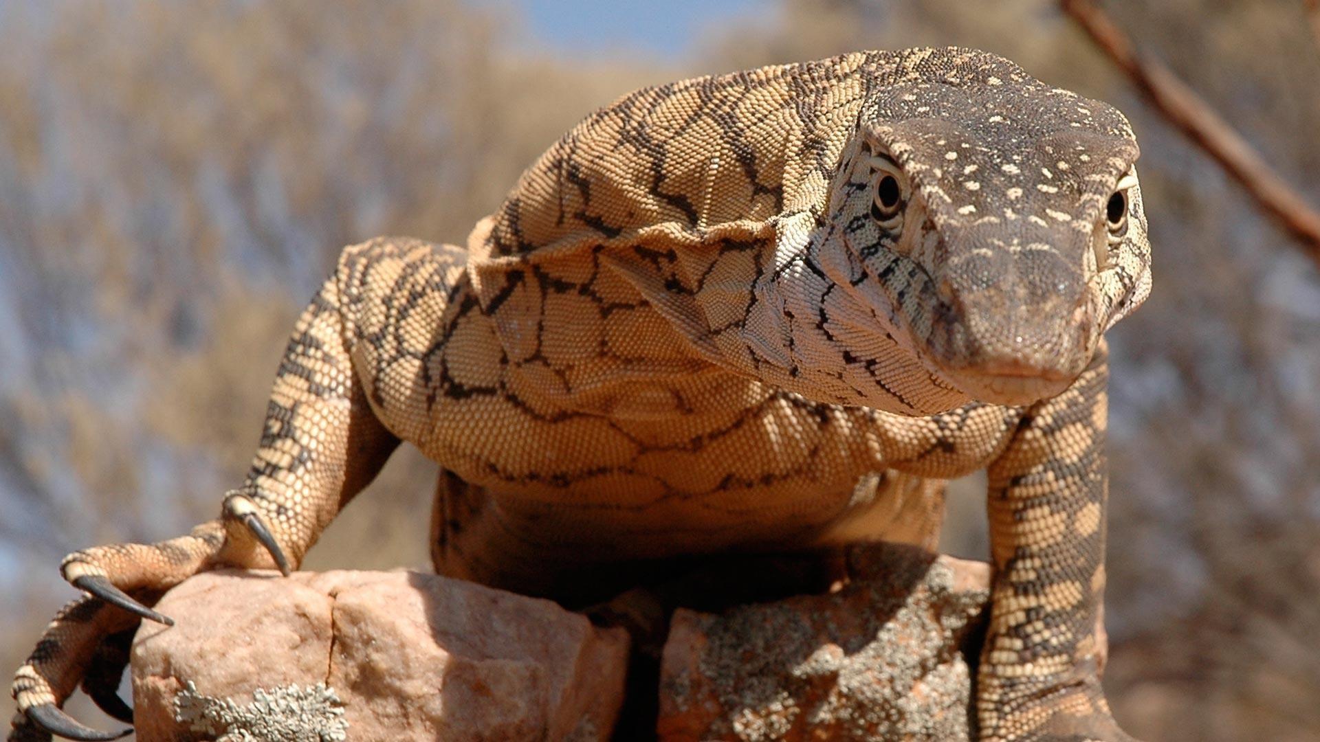 Perentie Australian animals, Dangerous animals