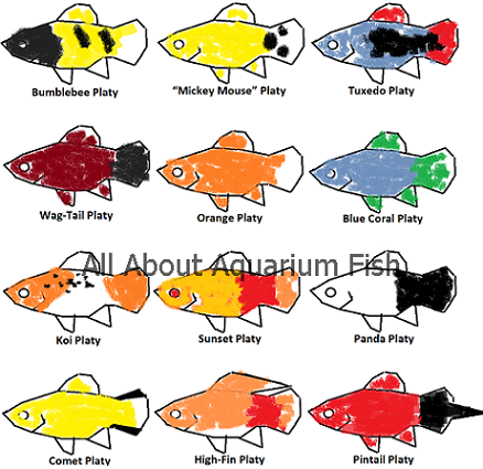 Names Of Different Types Of Platy Freshwater Aquariums The Fish