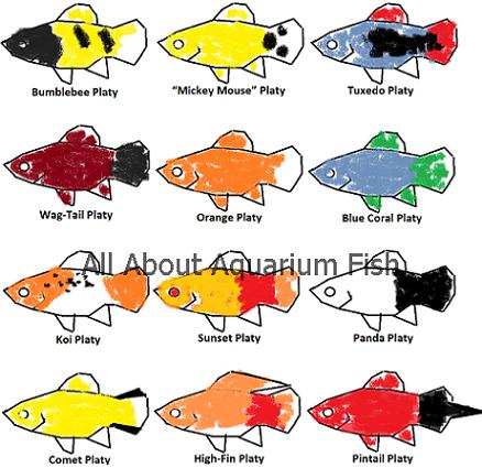 Identifying Naming Different Platy Types Platy Fish Fish Artwork Fish Breeding