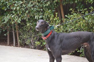 California Greyhound Rescue Available Greyhounds For Dog Adoption Greyhound Rescue Dog Adoption Dogs