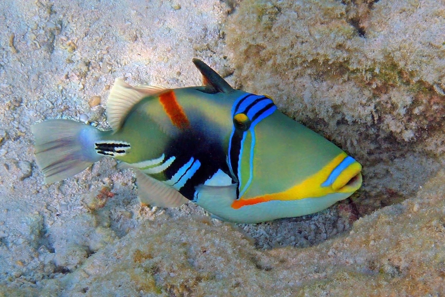 Triggerfish.jpg (1732×1155) Saltwater fish tanks, Sea